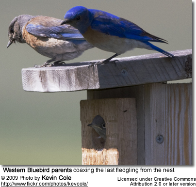 Western Bluebird parents coaxing the last fledgling from the nest.