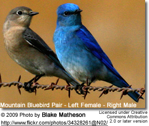 Mountain Bluebird Female and Male