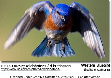 Western Bluebird in Flight