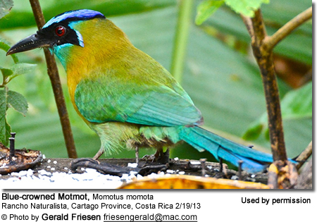 Blue-crowned Motmot, Momotus momota, Aguas Calientes, Peru (some books call this Peruvian bird the Highland Motmot, Momotus aequatorialis