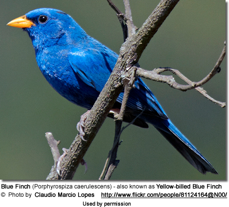 Blue Finch (Porphyrospiza caerulescens) or Yellow-billed Blue Finch