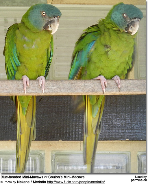Blue-headed Mini-Macaws or Coulon's Mini-Macaws (Primolius couloni formerly Propyrrhura / Ara couloni)