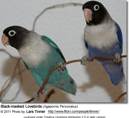 Black-masked Lovebirds (Agapornis Personatus)