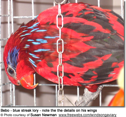 Bebo - blue streak lory