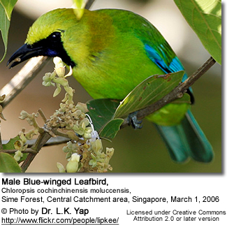 Blue-winged Leafbird , male