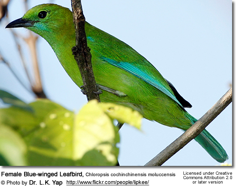 Female Blue-winged Leafbird, Chloropsis cochinchinensis moluccensis