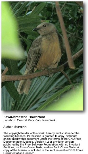 Fawn-breasted Bowerbirds