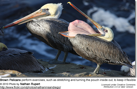 Brown Pelicans perform exercises, such as stretching and turning the pouch inside out, to keep it flexible
