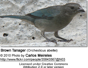 Brown Tanager (Orchesticus abeillei)