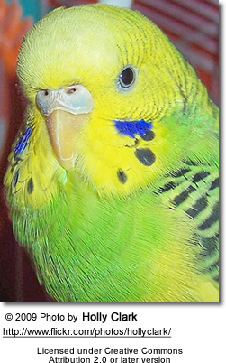 Green Budgerigar - Portrait