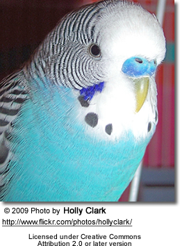 Budgerigar - note the blue cere of a mature male