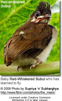 Red-whiskered Bulbul chick