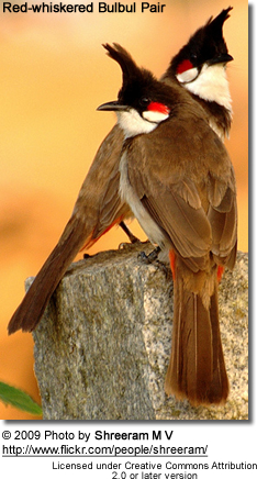 Red Whiskered Bulbul pair