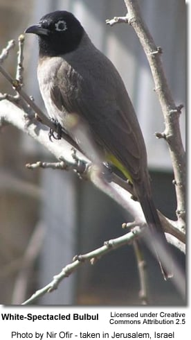 White-spectacled Bulbuls