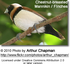 Chestnut-breasted Munia (Lonchura castaneothorax), also known as the Chestnut-breasted Mannikin or Bully Bird
