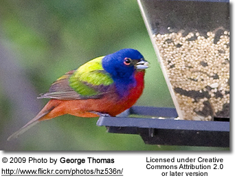 Male Painted Bunting by feeder