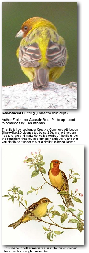 Red-headed Buntings