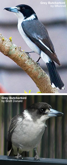 Grey Butcherbirds