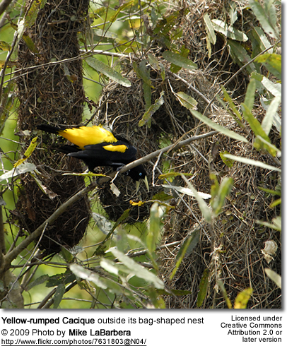 Yellow-rumped Cacique outside its nest