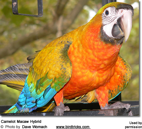 Camelot Macaw Hybrid