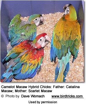 Camelot Macaw Hybrid Chicks