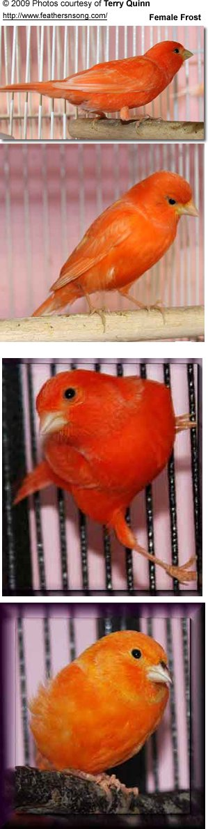 Red-factor Canaries