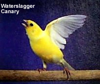 Waterslagger Canary