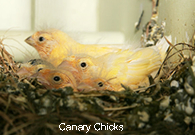 Canary Chicks