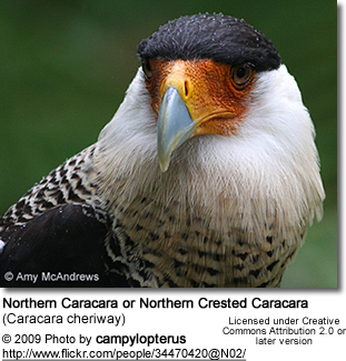 Northern Caracara or Northern Crested Caracara (Caracara cheriway), called Audubon's Caracara