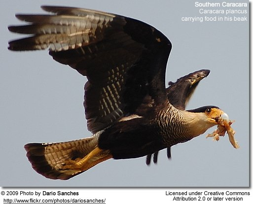 Southern Caracaras carrying food