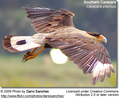 Southern Caracaras in flight