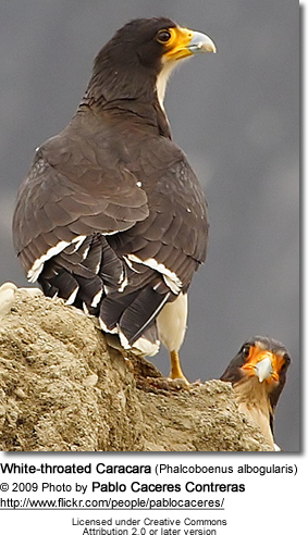 White-throated Caracara (Phalcoboenus albogularis)