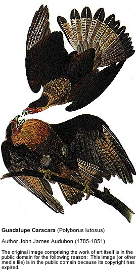 Guadalupe Caracaras