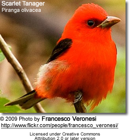 Image of: Missouri The Scarlet Tanager Piranga Olivacea Was Formerly Placed In The Tanager Family thraupidae But Is Now Now Classified In The Cardinal Family Beauty Of Birds Scarlet Tanagers Beauty Of Birds