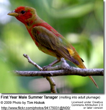 First-year Male Summer tanager molting into adult plumage