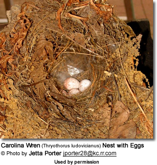 Carolina Wren (Thryothorus ludovicianus) Nest with Eggs