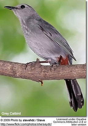Grey Catbirds