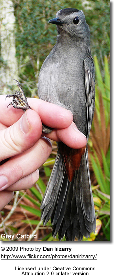 Grey Catbird being handled for banding (conservation)