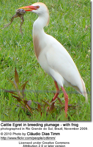 Cattle Egret in breeding plumage - with frog