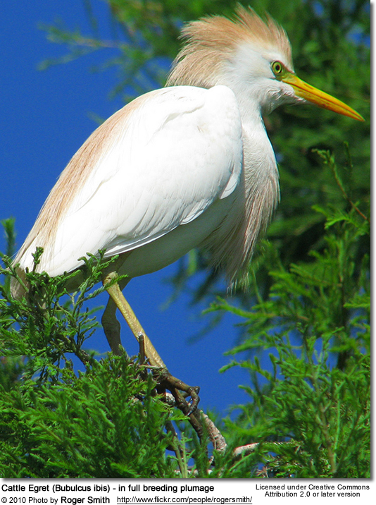 Cattle Egret (Bubulcus ibis) - in full breeding plumage