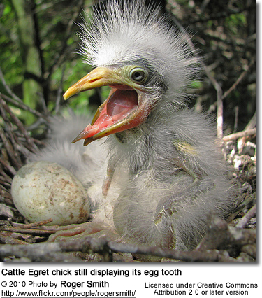 Cattle Egret chick still displaying its egg tooth