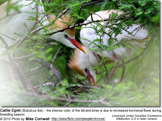 Cattle Egret (Bubulcus ibis) - the intense color of the bill and lores is due to increased hormonal flows during breeding season