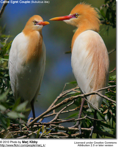 Cattle Egret Couple (Bubulcus ibis)