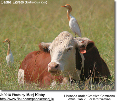 Cattle Terns