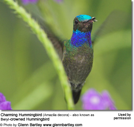 Charming Hummingbird (Amazilia decora) - also known as Beryl-crowned Hummingbird