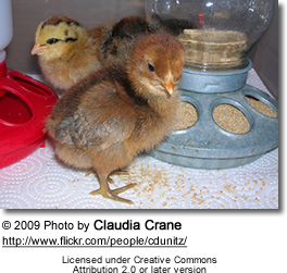 Chicks with feeder and waterer