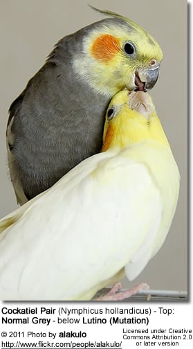 A mated pair of cockatiels