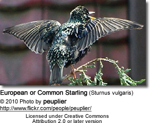 European or Common Starling (Sturnus vulgaris)