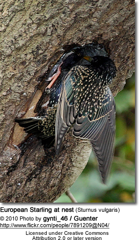 Common Starling at nest