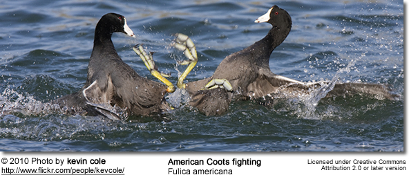 American Coot (Fulica americana) - fighting